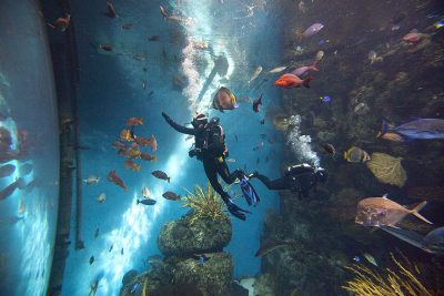 Volunteer diver Rafael Lanus, waves to exhibit guests on the other side of the glass of the 78-degree, 28-foot deep, 350,000-gallon tropical reef exhibit at the Aquarium of The Pacific in Long Beach. The diver at right is John Waskiesicz. The Tropical Reef is designed after a dive spot known as the Blue Corner in Palau, Micronesia. The volunteers conduct animal husbandry, maintenance, education, scientific dives and monitor the health of the animals.